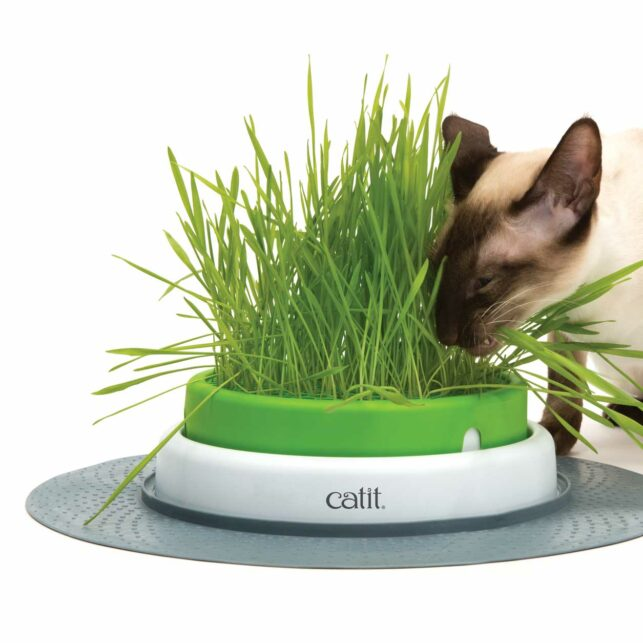 Siamese cat eating from a grass planter