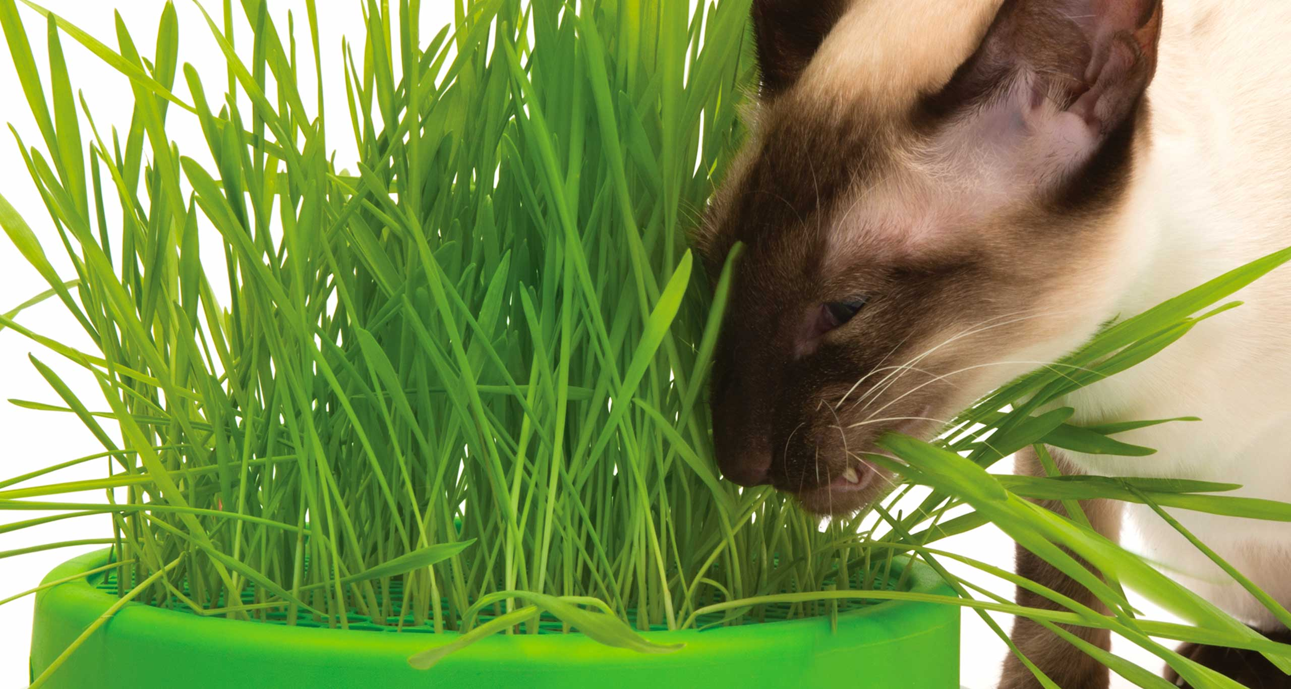Cat eating from grass