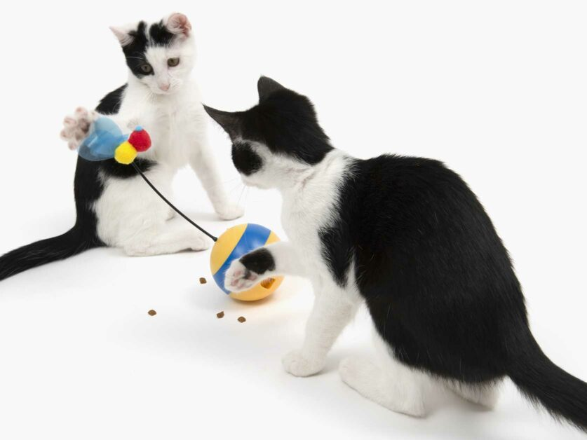 2 black and white cat playing with the spinning bee