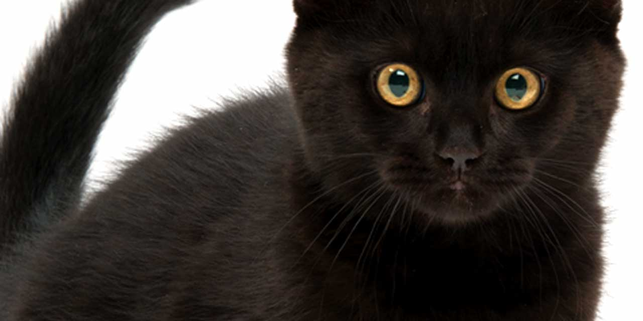 Black cat staring at you to join in the black cat wall