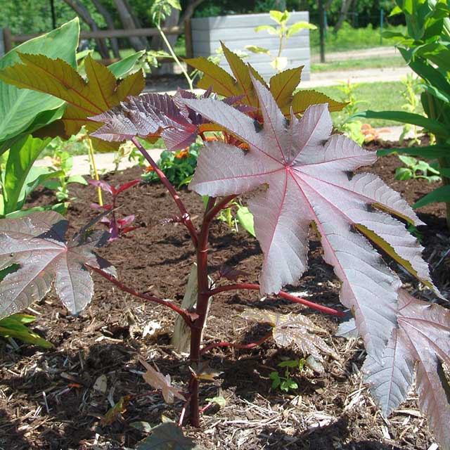 Castor Bean is a flower dangerous for cats