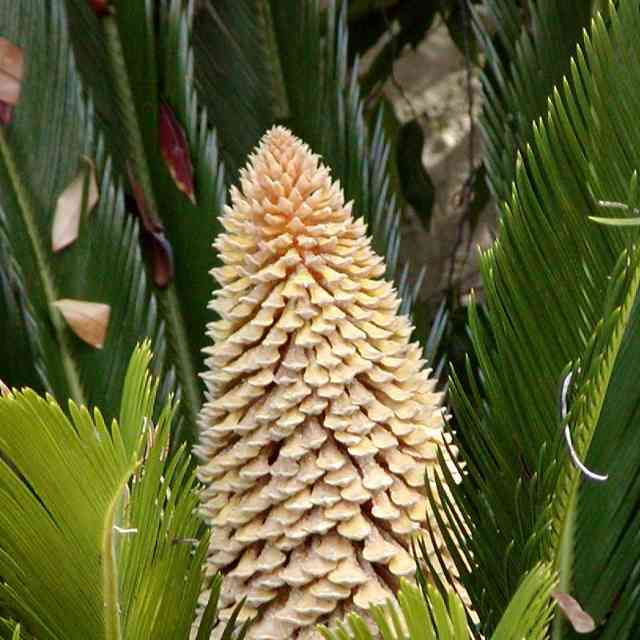 Cycas inflorescence is a plant dangerous for cats