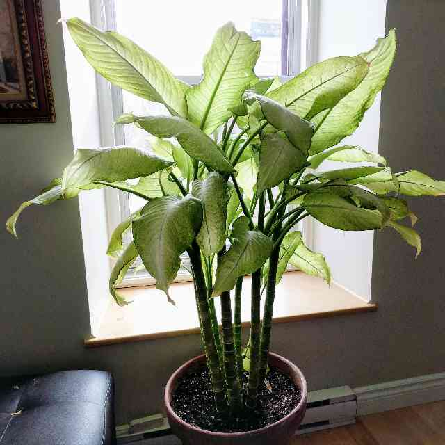 Dieffenbachia is a plant dangerous for cats