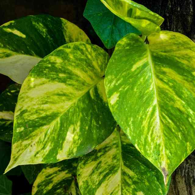 Epipremnum aureum is a plant dangerous for cats