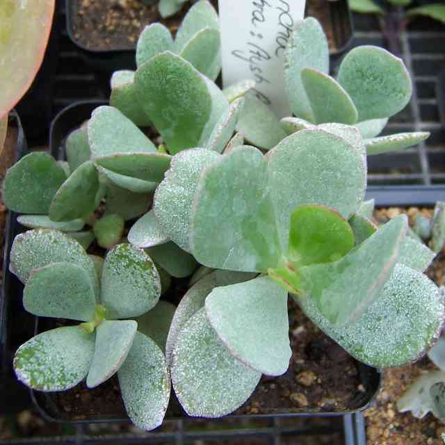 Kalanchoe Sokotra is a plant dangerous for cats