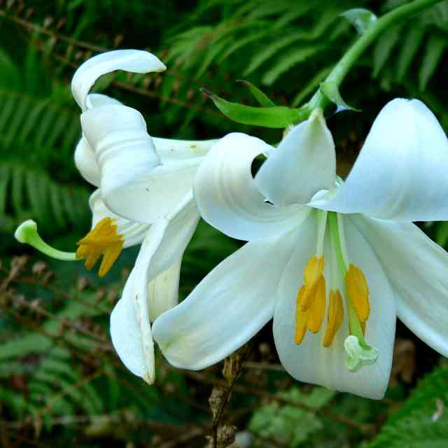 Lilium candidum are flowers dangerous for cats