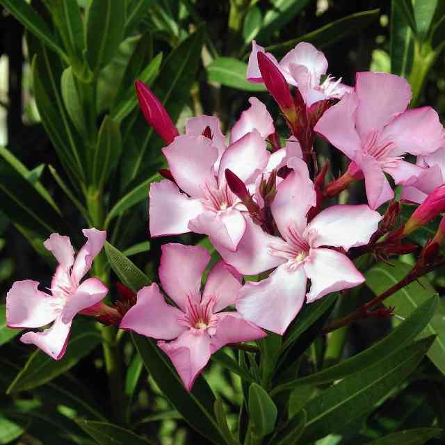 Nerium oleander is a flower dangerous for cats