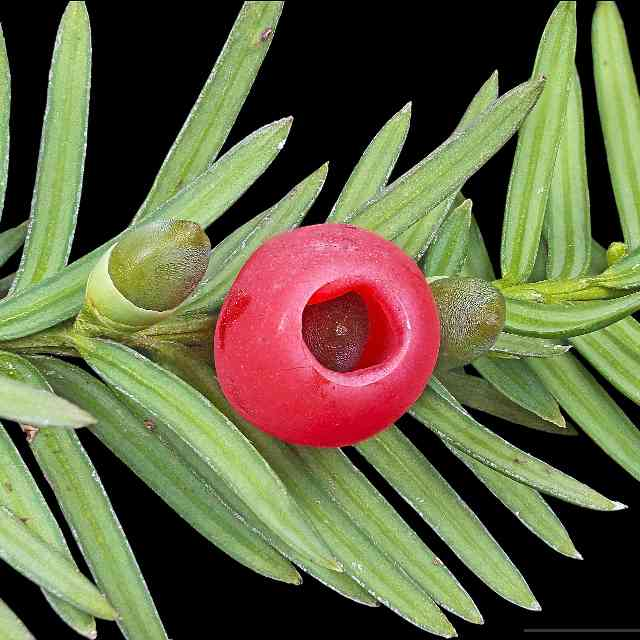 Taxus baccata are flowers that are dangerous for cats
