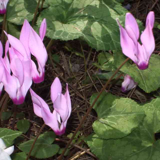 cyclamens are flowers that are dangerous for cats