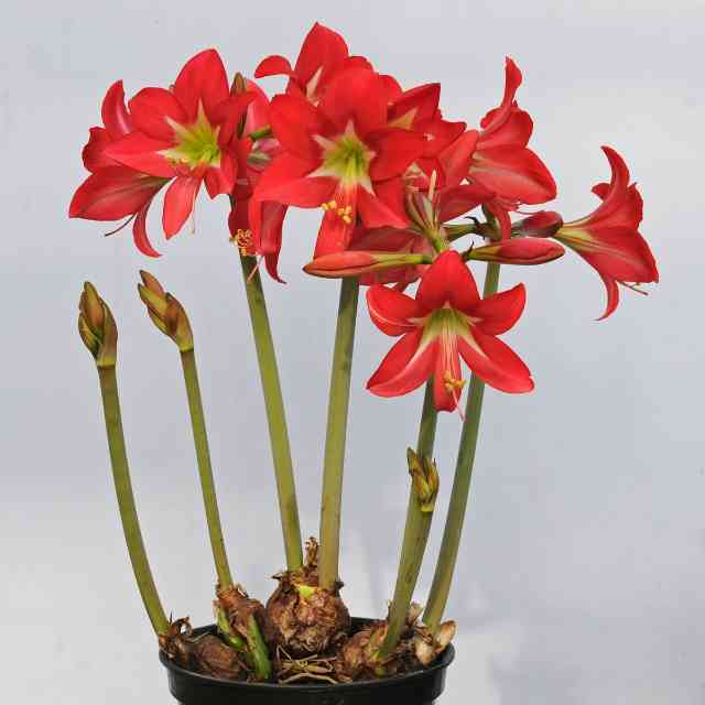 Amaryllis are flowers that are dangerous for cats