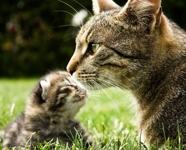 Cute tabby kitten with its mother